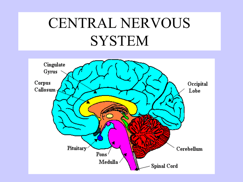 Central Nervous System With Brain Parts And Functions