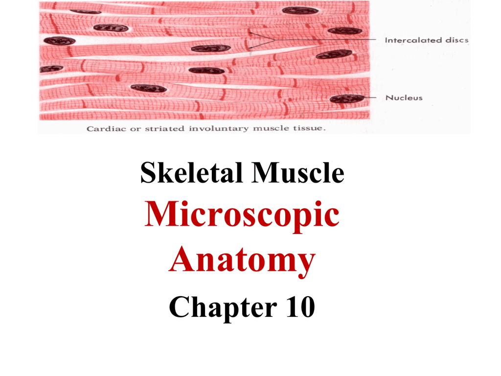 2 Skeletal Muscle Anatomy Web