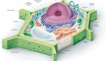 Risultati immagini per cellula vegetale