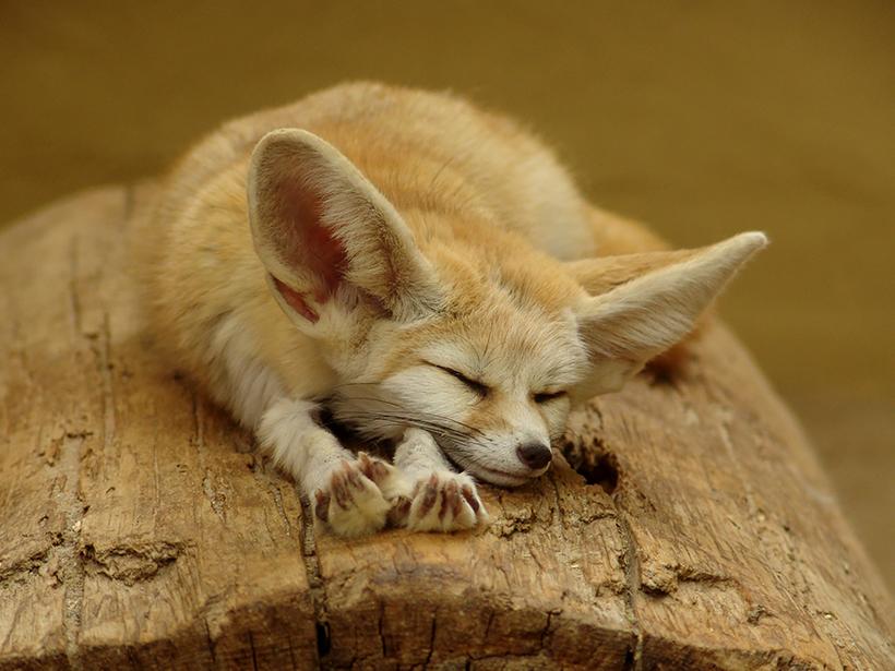 Рыжая лиса — сестричка, плутовка, Патрикеевна. Лиса: интересные факты о рыжей хитрюге