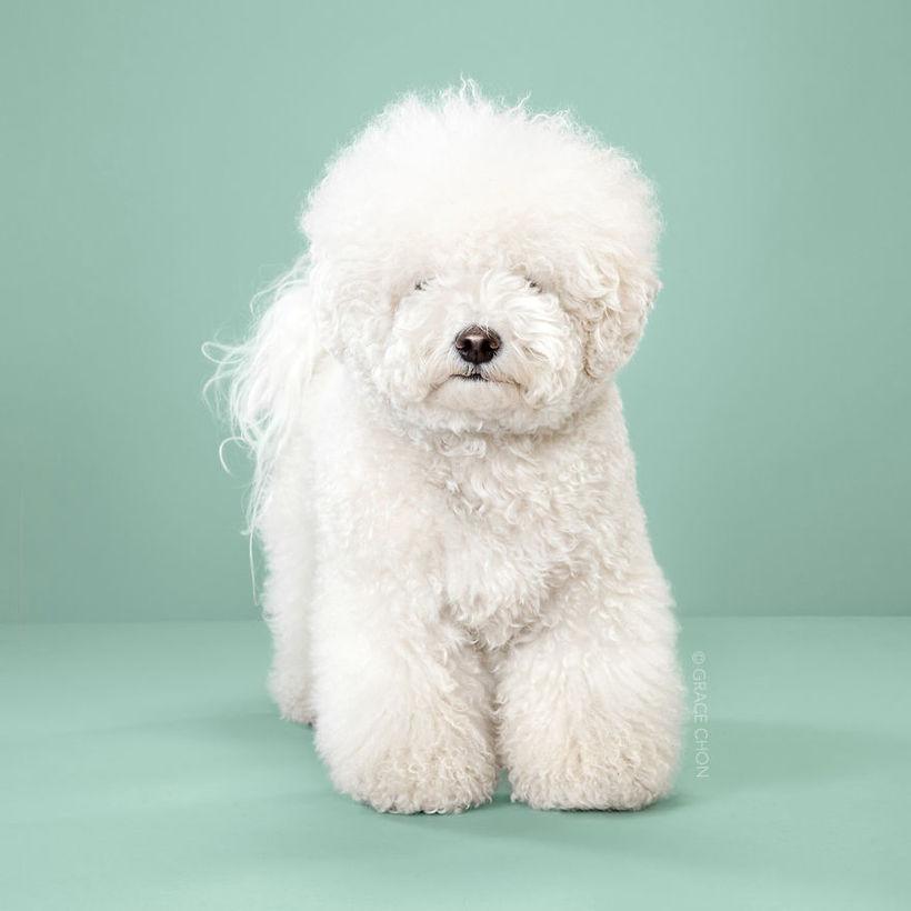 Что бывает, когда собака попадает в руки японского собачьего парикмахера