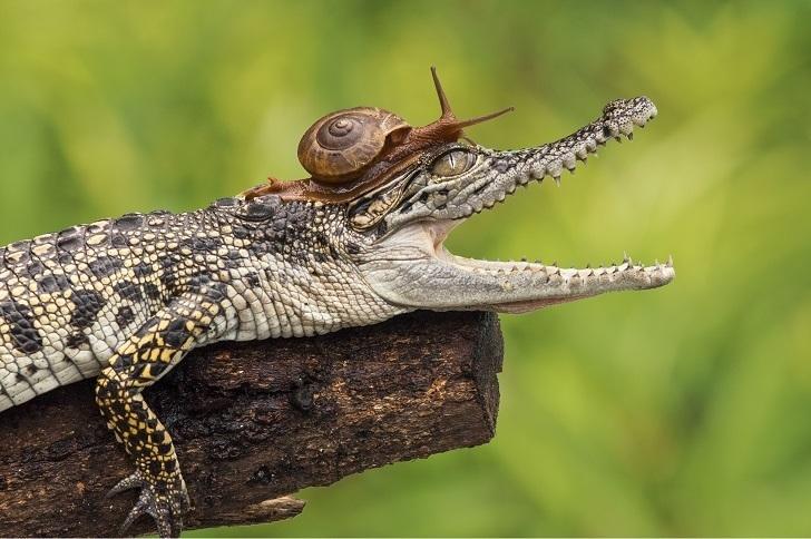 Улитка проползла по крокодилу и заглянула ему в рот