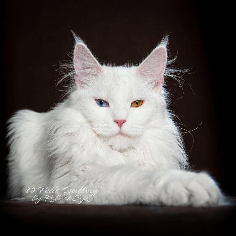 Мифические звери: фотограф делает крутые портреты величественных мейн-кунов