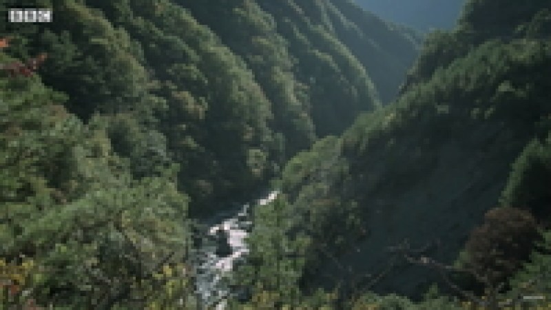 Видео: Королева самых опасных ос на планете создает свою империю в горах Японии