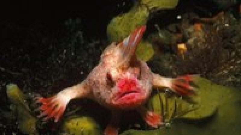 Вымерла «рыба-панк» с ирокезом, которая умела ходить по дну