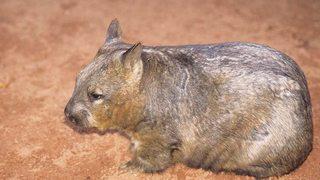 Australia salvaje: El reino del Wombat [2015] [WEBDL]