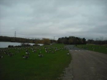 Geese having breakfast