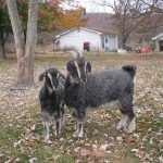 Fantasia and Abracadabra Angora Goats