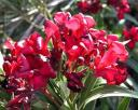 oleanders2.jpg