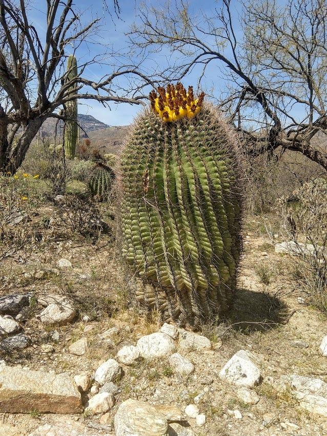 3.16 swollen barrel cactus