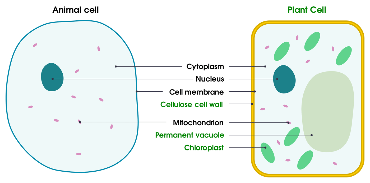 Plant Cells Animal Cells And Structures Are Found Both What