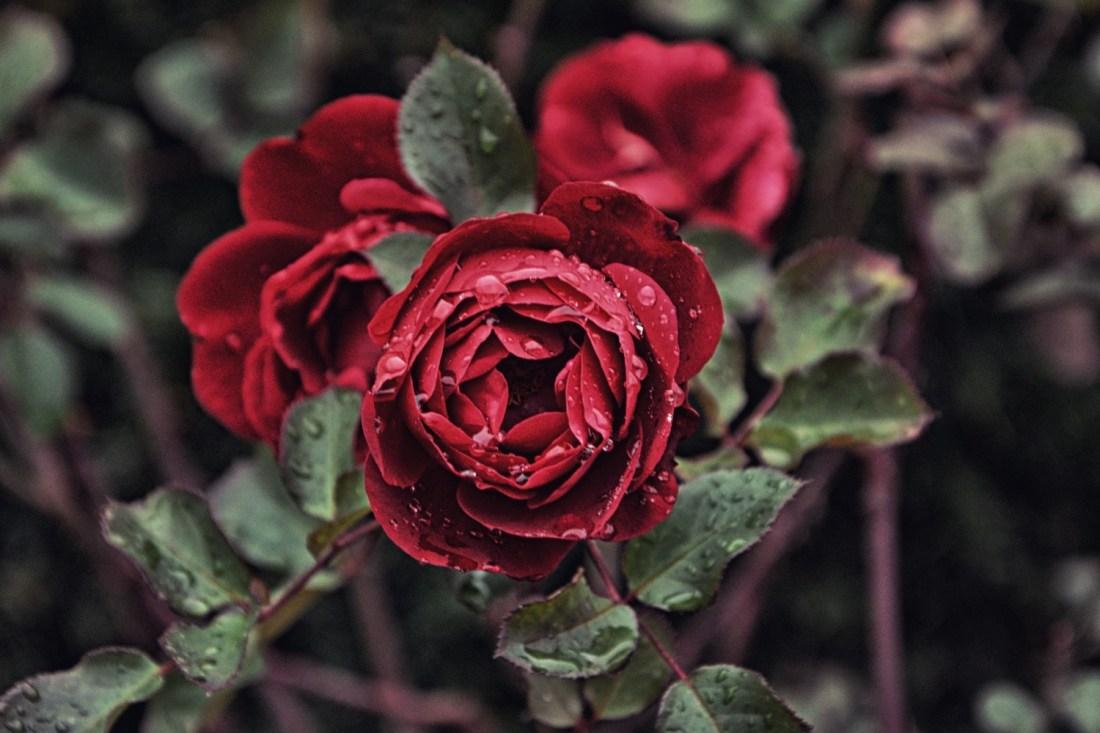 Die Rose, die die Blätter verliert, misst die Zeit, die das Biest noch hat, bevor der Zauber endgültig wird. Foto: Daniil Kuzelev/Unsplash