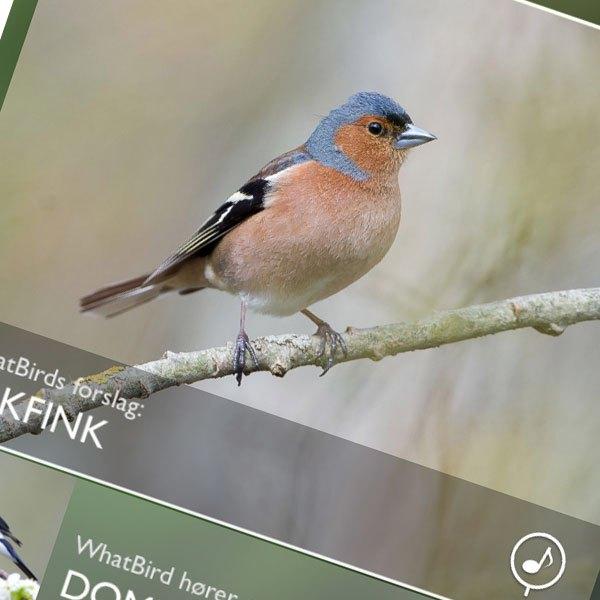 Denne appen forteller deg hvilken fugl som kvitrer
