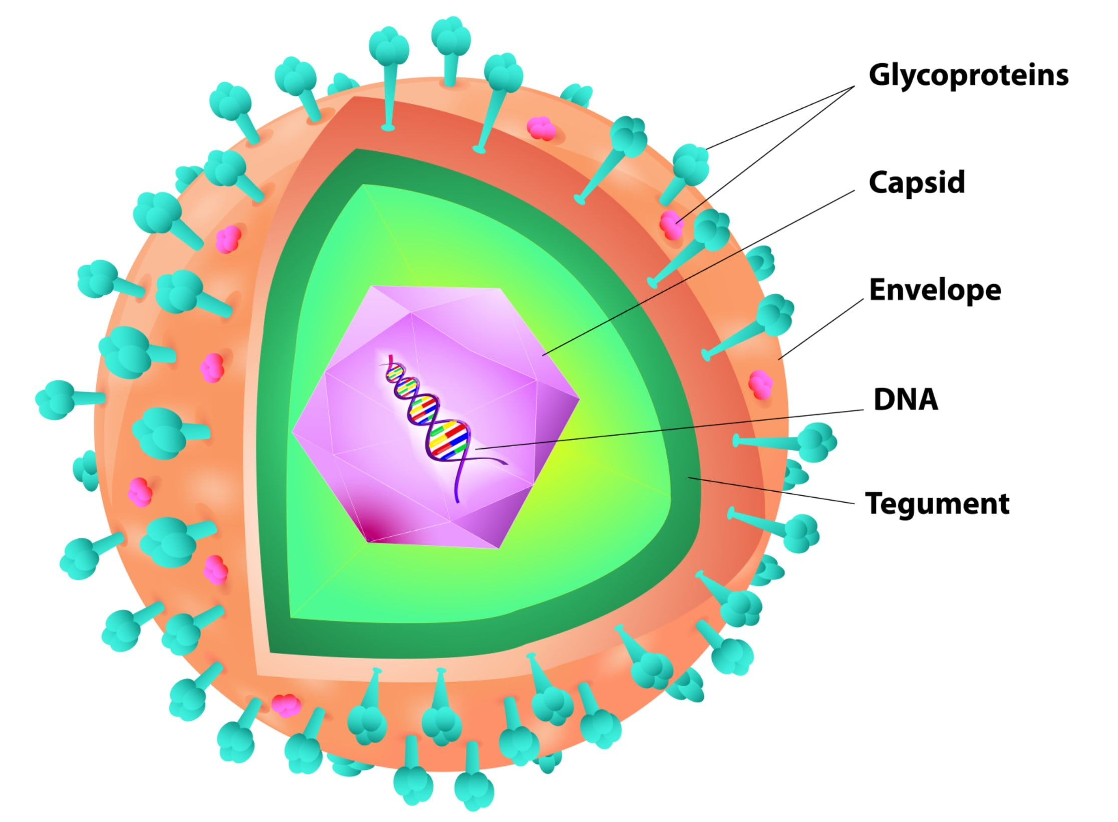 Viruses And How They Work