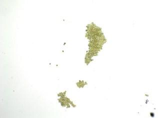 photosynthetica-18