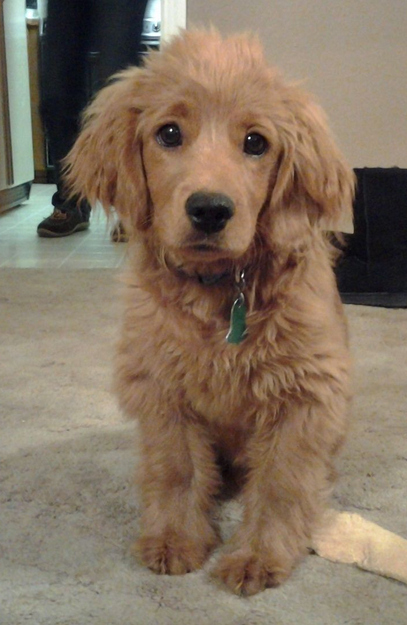 Red Golden Retriever Puppies English
