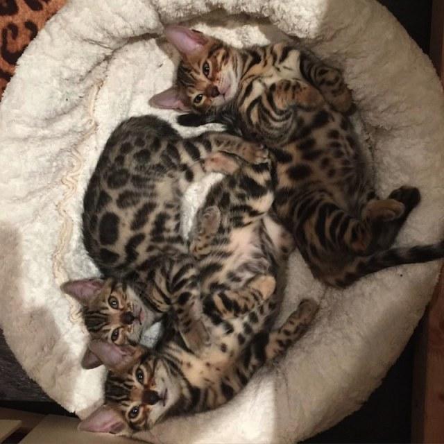 ClioMakeUp-animali-vip-famosi-star-stefano-gabbana-bengal-kittens-1