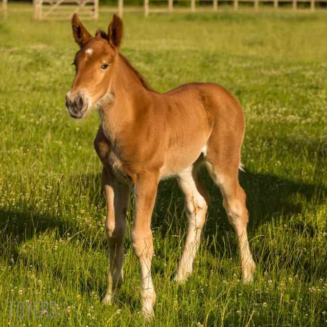 New Suffolk Punch Stud Welcomes First Foal