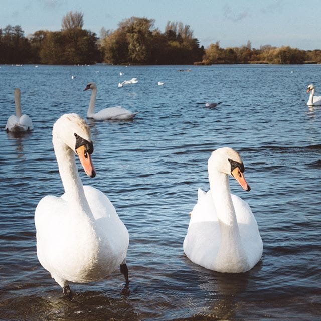 Swans at Thorpness