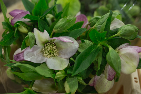 Helleborus orientalis Queens Picotee at New Covent Garden Flower Market February 2017