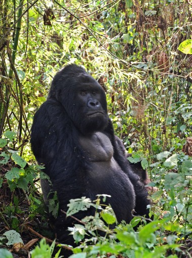 World's largest gorillas 'one step from going extinct ...