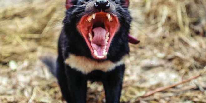 Les diables de Tasmanie ont développé une résistance contre un cancer transmissible