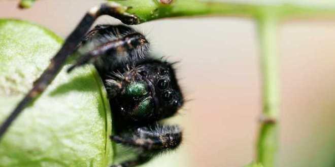 Les araignées peuvent entendre à plus de 3 mètres