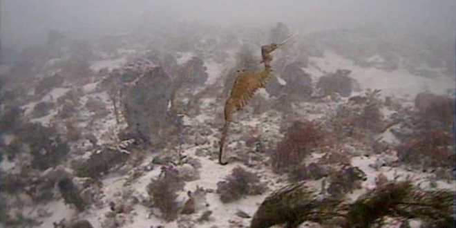 Premiers aperçus de dragons de mer Rubis dans la nature