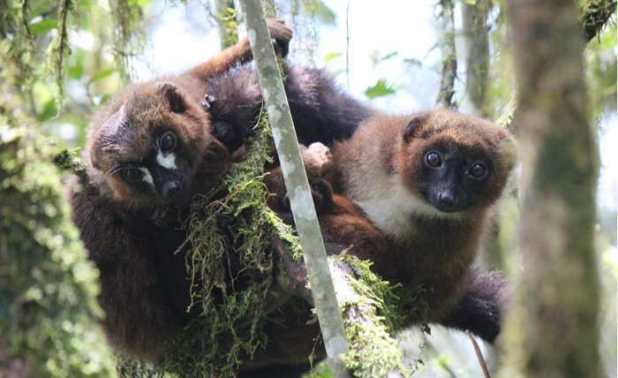 Des lémurs à ventre roux. Un mâle à droite et une femelle à gauche - Crédit : Joseph Falinomenjanahary