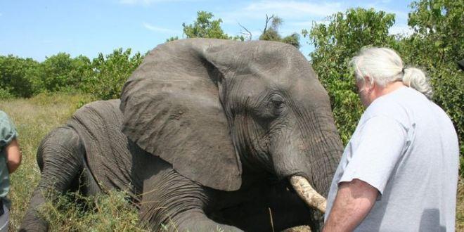 Les éléphants africains sont les champions des «petits dormeurs»