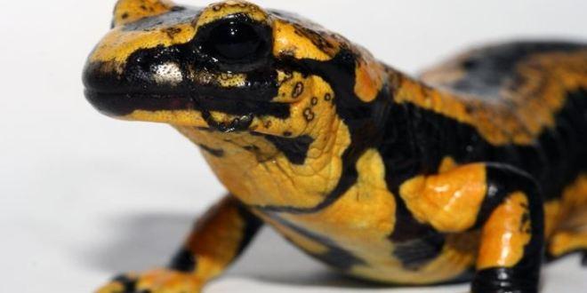 Un champignon invasif extermine les salamandres européennes