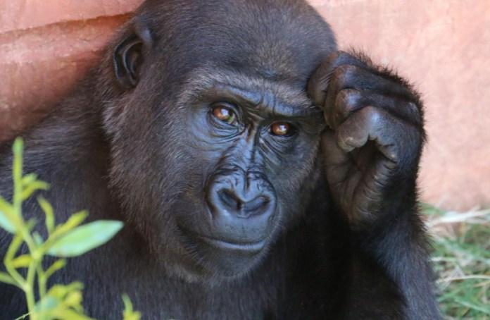 Covid-19: Apes put on lockdown