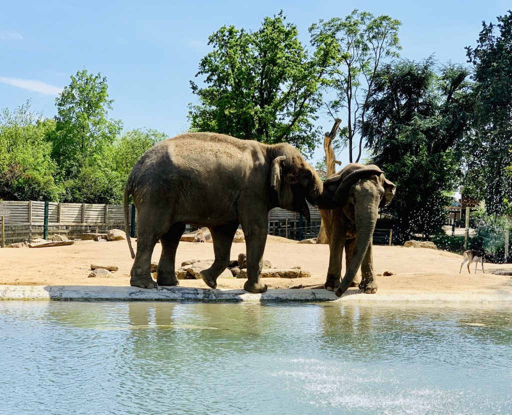 Elephants at Touroparc Zoo