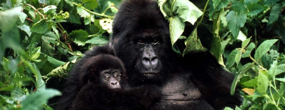 reisblog oeganda gorilla