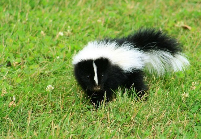 Skunk Smell House