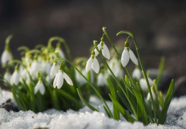 8 Winter Flowers to Brighten Your Snowy Garden   Bob Vila 8 Winter Flowers that Will Brighten a Gray Garden