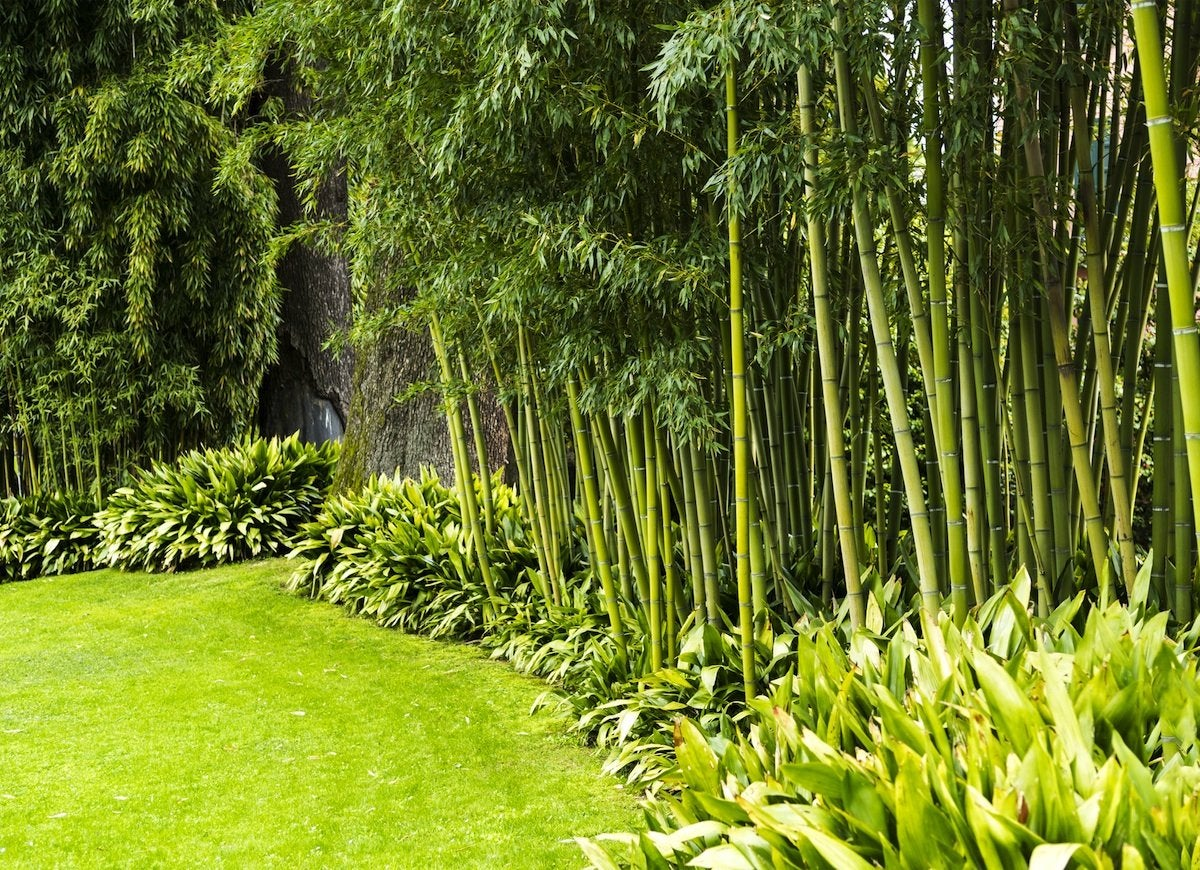 bamboo privacy garden Backyard Privacy: 10 Best Plants to Grow - Bob Vila