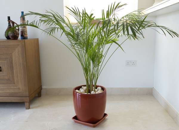 palma di bambù, una pianta perfetta per rinfrescare la casa in estate.