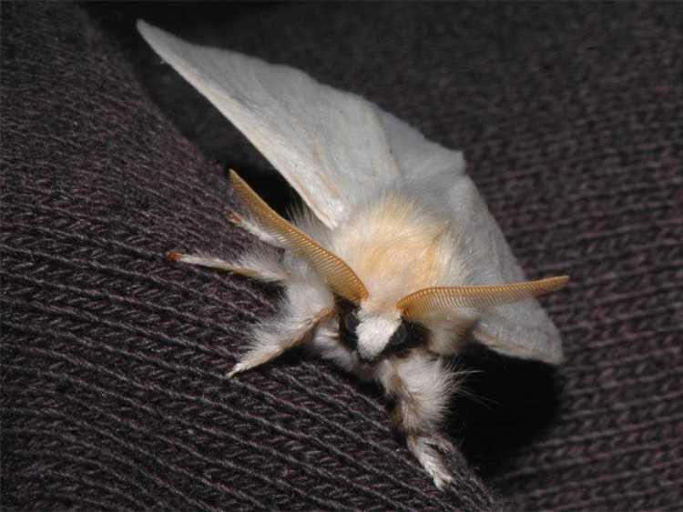 Silvery, extra-hairy moth - head-on shot - web