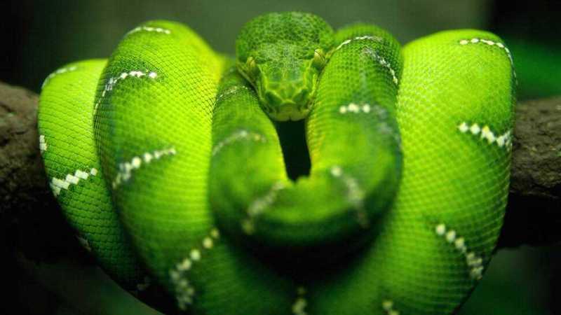 596564__green-emerald-boa_p