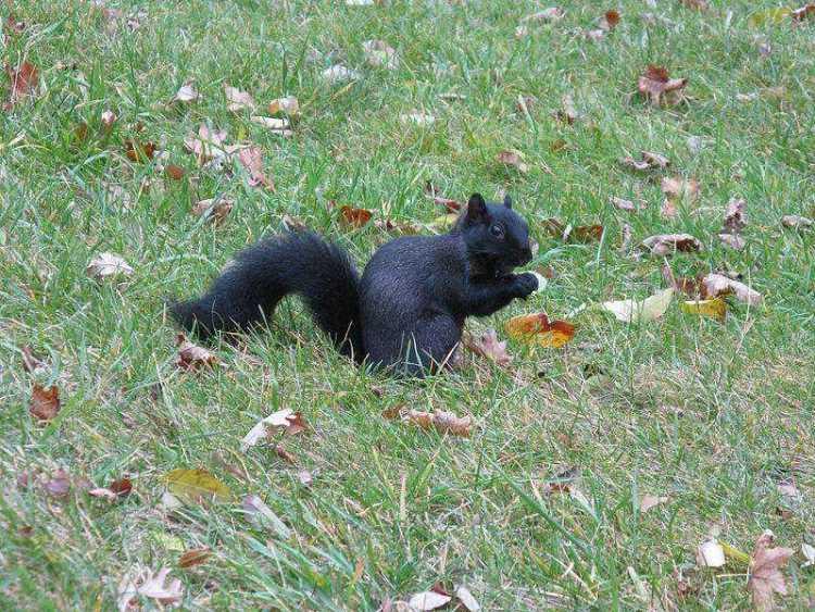 Sciurus_Melanistic_Squirrel_Nebraska_3716