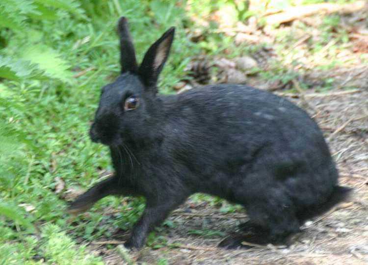 rabbit melanistic 23.04.11