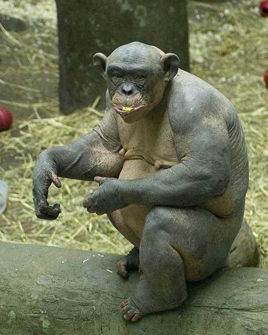 hairless-monkey-3