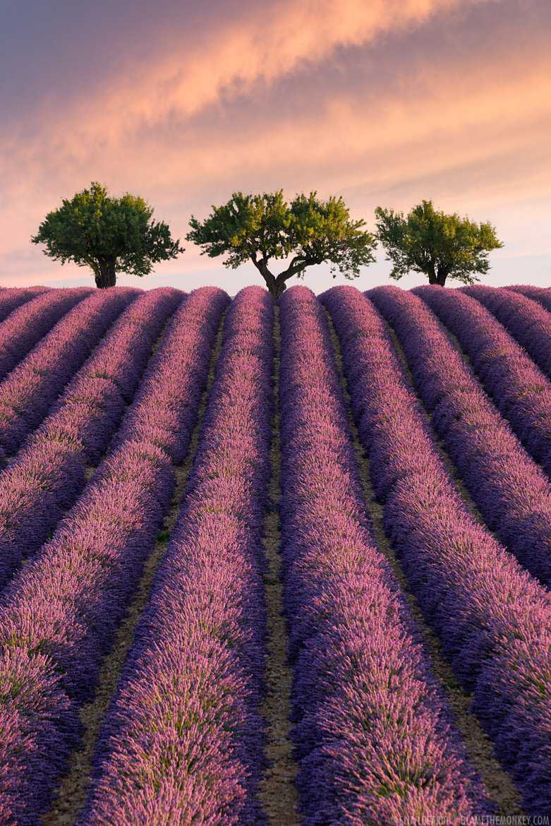 Long rows of beautiful lavender lead into three perfect trees.