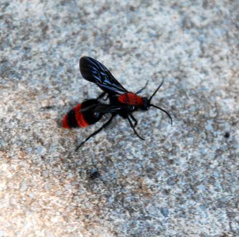 copy_of_velvet_ant_male2
