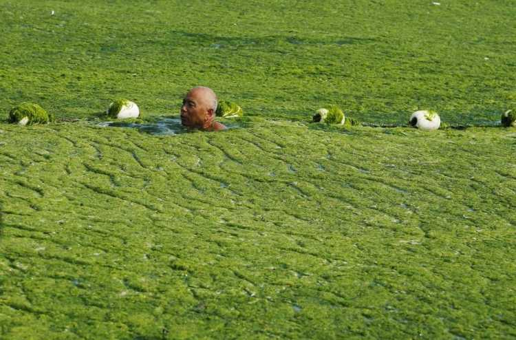 QINGDAO, CHINA - JULY 03:  (CHINA OUT) A man swims in seawater covered by a thick layer of green algae on July 3, 2013 in Qingdao, China. A large quantity of non-poisonous green seaweed, enteromorpha prolifera, hit the Qingdao coast in recent days. More than 20,000 tons of such seaweed has been removed from the city's beaches.  (Photo by ChinaFotoPress/ChinaFotoPress via Getty Images)