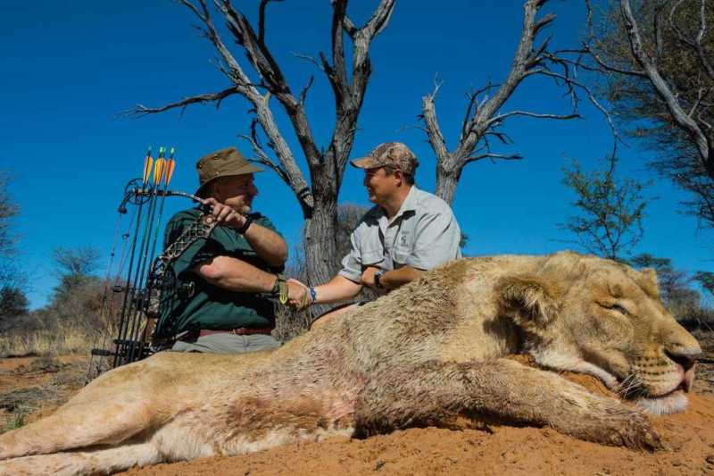 NORTH WEST PROVINCE, SOUTH AFRICA, OCTOBER 2012: American Bow hunter Steve Sibrel hunts a lioness with professional South African hunter guides on a game farm close to the South Africa/Botswana border region, October 19, 2012. Two systems for the hunts exist in two different provinces of South Africa. One practice sees the lion released for a minimal 96 hours into a 3000-hectare area before the hunt can begin. The other practice sees the lion released for 3 months into a minimum 3000-hectare area before it can be hunted. The lioness in these images was released 96 hours ahead of the hunt into the area. Recent global research points to the fact that hunting and breeding programs are necessary components for the survival of lions into the future. These practices go some way towards lessening pressure on wild lion populations as well as preserving a strong lion DNA base and a future repository for lions for areas where they have been decimated. The hunting industry is also a strong employer in Africa, with over 1.4 million square kilometers given over to hunting concessions. This is a landmass more than 20% higher than that given over to Wildlife Conservation areas. More than 18000 hunters come to Africa every year and the money high-end dangerous game hunting brings to the continent goes some way to preserving the land mass set aside for hunting. The South Africa Predators Breeders association is making strides towards a more regulated industry, with a charter and code of conduct in the works, which is expected to bring a stronger emphasis on ethical practice into play. (Photo by Brent Stirton/Reportage for National Geographic Magazine.)