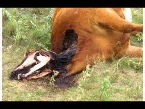 img_5786_cattle-mutilation-updates-tdtv