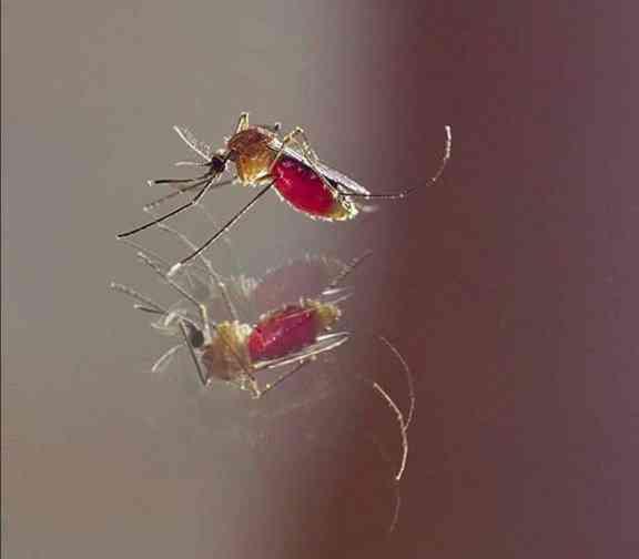 Eu sei que este não é o mosquito da dengue. Mas não dá pra não postar essa minha foto, né?