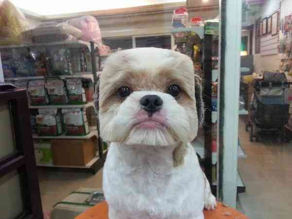 square-round-dog-haircut-taiwan-2